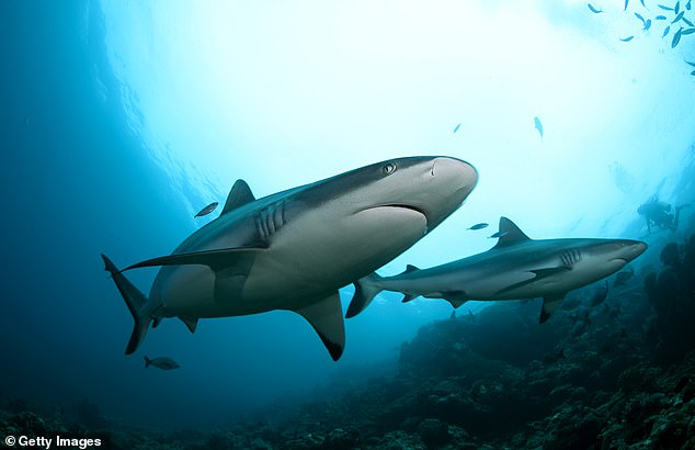 Researchers at Florida International University tagged 41 grey reef sharks near the Palmyra Atoll and found the agile predators formed tight-knight groups that last for years