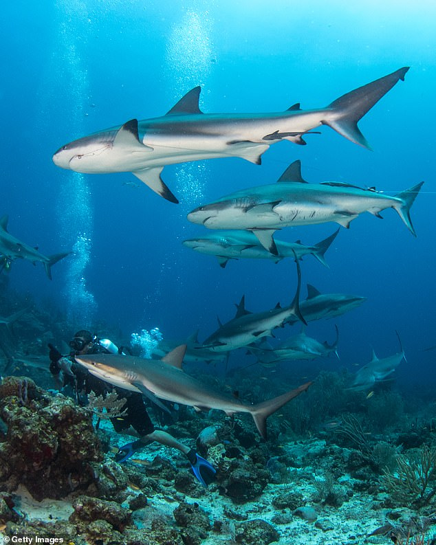 While grey reef sharks go out to the open water at night, they return to the same section of reef during the day and rarely stray into other cliques. Such close associations are rare in the animal kingdom, and almost unheard of among sharks.