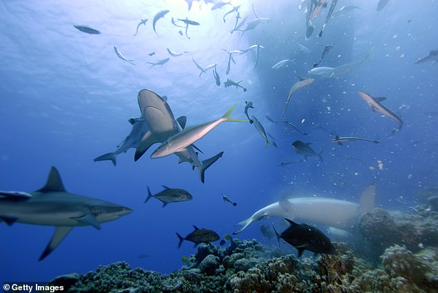 It's not clear how the grey reef sharks identify other individuals in their group or why they form such strong bonds. They spend their nights in the open sea, where researchers' transmitters can't record their interactions
