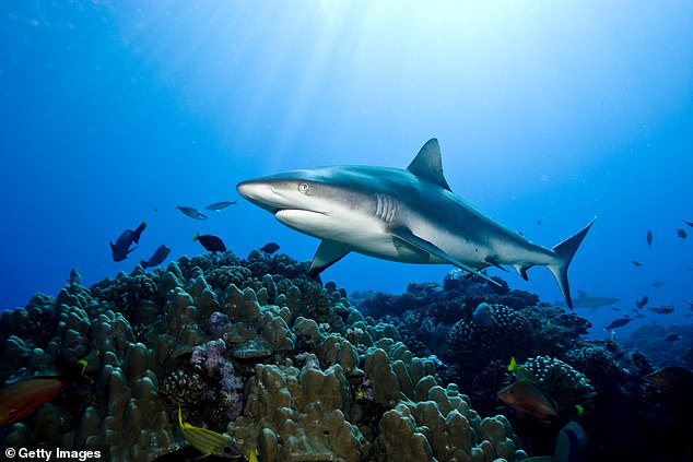 Grey reef sharks' numbers are dwindling, the result of commercial fishing for their fins.The International Union for Conservation of Nature has classified them as 'near threatened.'