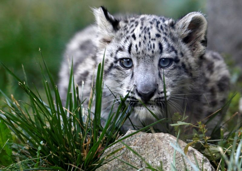 © Reuters. FILE PHOTO: A three month old snow leopard cub is seen at the Brookfield Zoo in Brookfield, Illinois