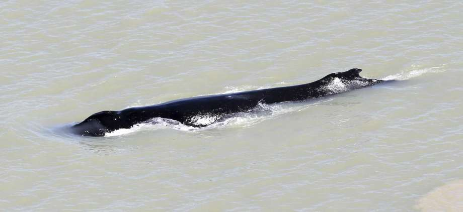 In this photo provided by the Northern Territory Government, a humpback whale swims in the East Alligator River in the Kakadu National Park in Australia's Northern Territory, on Sept. 10, 2020. Whales have never been seen before in the East Alligator River in the Northern Territory's World Heritage-listed Kakadu National Park and no one can explain why at least three of the blue water mammals ventured so deep inland in a river with almost zero visibility. (Northern Territory Government via AP) Photo: Northern Territory Government, AP / Northern Territory Government