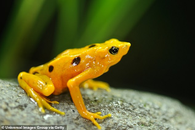 Only about 1,500 Panamanian golden frogs are believed to exist, all in zoos and research centers. They've all but been killed off in the wild bychytridiomycosis, a disease caused by a waterborne fungus. Smithsonian conservationists are trying to breed them in captivity to keep the species from extinction