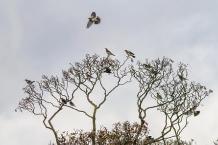 Flock of Fieldfares and redwings, having arrived on migration, near Ilkley, Yorkshire, England
