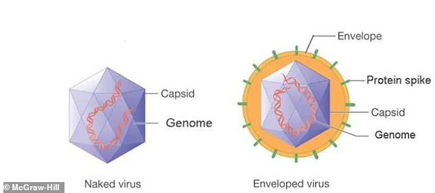 Coronavirus is a type of enveloped virus (right), meaning it has a fatty outer lipid membrane. Naked viruses (left) lack the viral envelope