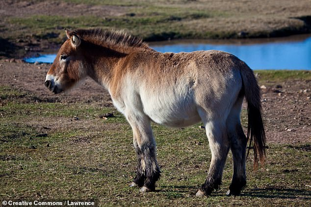 Among those species pulled back from the brink are the Puerto Rican parrot, Mongolian wild horse (or 'Equus ferus', pictured), Iberian Lynx and the Black Stilt — a New Zealand wader