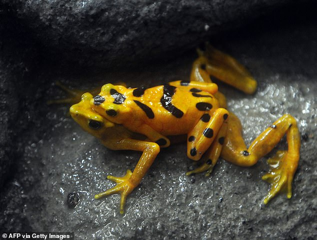 A pair ofPanamanian golden frogs mating in the wild in 2009.According to the National Zoo in DC, one frog has enough poison in its skin to kill 1,200 mice. It's bright yellow skin is intended to warn off potential predators