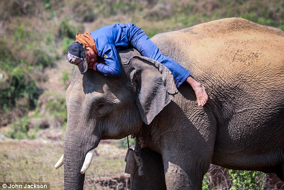 A new study has found that elephants, like humans, have distinct personalities. They can be aggressive, attentive and outgoing. Pictured is an elephant with its mahout, or rider, who the animal works with each day in Myanmar's timber industry