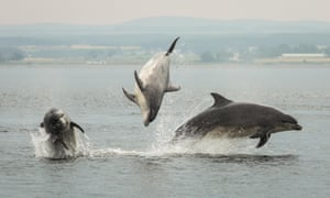 Bottlenose dolphins off Chanonry Point.