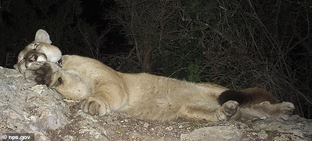 P-81 sedated and collared. At least two other mountain lions have been observed with kinked tails on remote cameras in the region