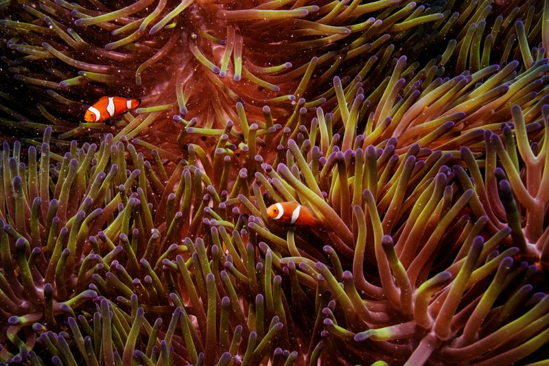 © Reuters. FILE PHOTO: Two clownfish swim inside of a sea anemone in the Great Barrier Reef off the coast of Cairns, Australia