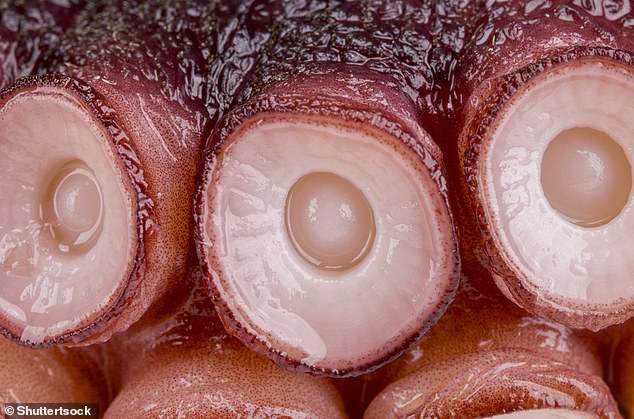Close-up of an octopus'ssuction cups that line its eight tentacles.The scientists identified a novel family of sensors in the first layer of cells inside the suction cups that have adapted to react and detect molecules that don't dissolve well in water. These sensors, called chemotactile receptors, use these molecules to help the animal figure out what it's touching and whether that object is prey