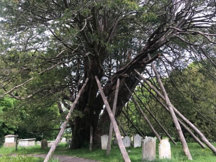 Yew tree in churchyard, Wilmington, East Sussex