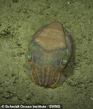 'This unexpected discovery affirms that we continue to find unknown structures and new species in our ocean,' said Schmidt Ocean Institute co-founder Wendy Schmidt. Pictured, a cuttlefish spotted by the SuBastian robot during its dive