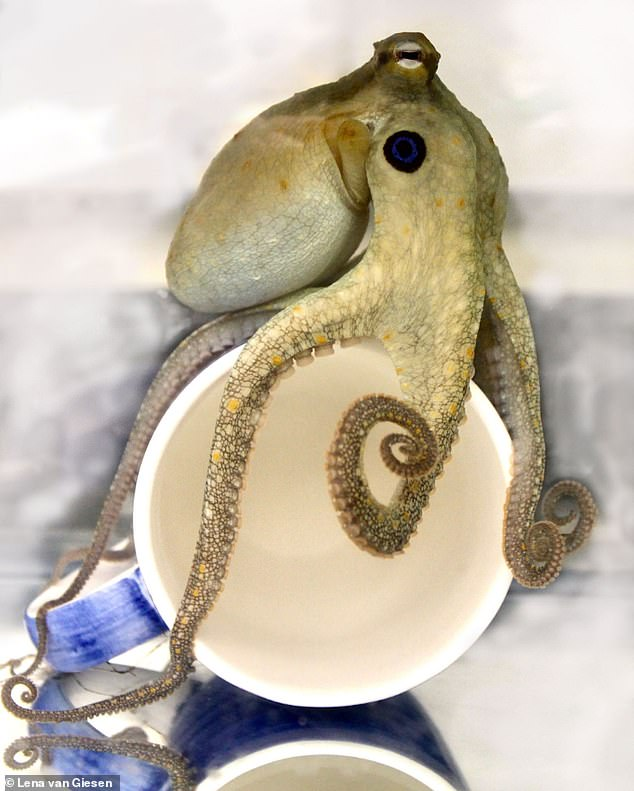 Close-up of anoctopus touching a cup. Anyone of its eight tentacles can still grasp after being severed from the body for at least an hour