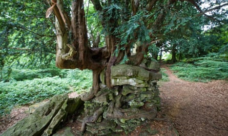 The Devil s Pulpit yew tree with its roots in a rocky outcrop