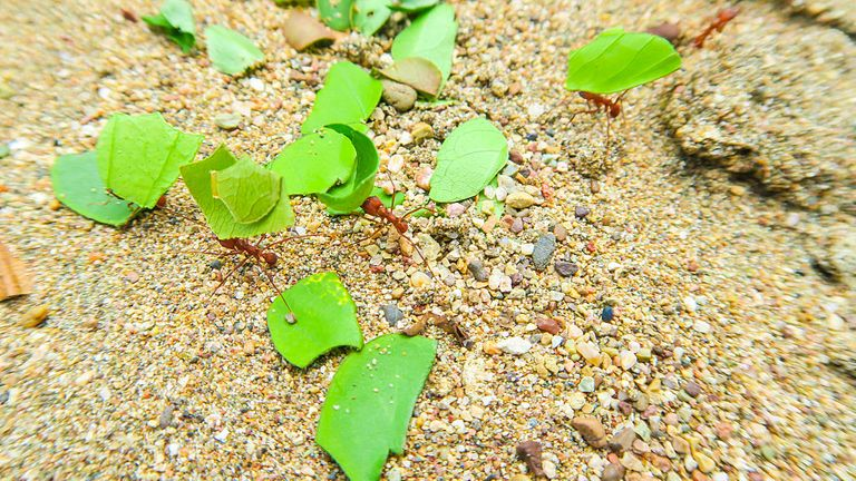 BAHIA SOLANO, COLOMBIA - AUGUST 31, 2016: Leaf-cutter ants are crawling in the sand of Huina Beach on the Pacific Coast on August 31, 2016 in Bahia Solano, Colombia. (Photo by EyesWideOpen/Getty Images)