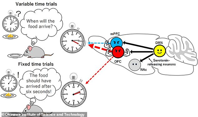 The researchers found that serotonin release in the orbitofrontal cortex (red) was as effective at promoting patience as release of the same in the dorsal raphe nucleus (yellow). In the medial prefrontal cortex (blue), however, an increase in patience more serotonin with was only seen when the timing of the reward was varied (top left) — and not in fixed time trials in which the mice had been trained to expect food after a given time (bottom left)