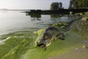 A catfish appears on the shoreline in the algae-filled waters of Lake Erie in Toledo, Ohio.