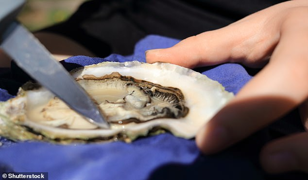 European oyster (ostrea edulis) being opened by hand. The species has higher free glutamate and nucleotide content than the Pacific oyster (crassostrea gigas) and is therefore a strong option to pair with champagne this festive season