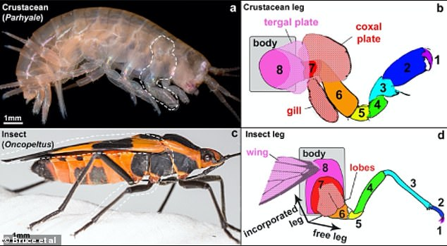 Insects incorporated two ancestral crustacean leg segments (labelled 7 in red and 8 in pink) into the body wall. The lobe on leg segment 8 later formed the wing in insects, while this corresponding structure in crustaceans forms a hardened plate (tergal plate)