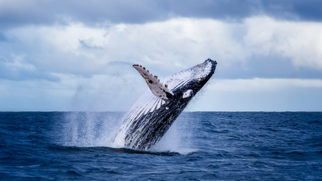 Bitcoin Whales Grow After Price Bottoms, Analyst Says 'Coins Are Moving to Very Strong Holders'