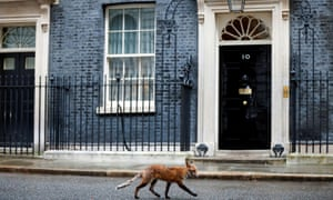 A fox walking past 10 Downing Street this week. The number of rescues involving the animals nearly doubled in 2020. Photograph: John Sibley/Reuters