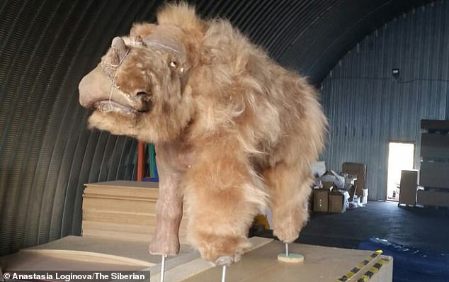 The find was made close to the site where the only-known baby woolly rhino specimen — dubbed Sasha — was excavated back in 2014. Pictured, Sasha cleaned up and on display