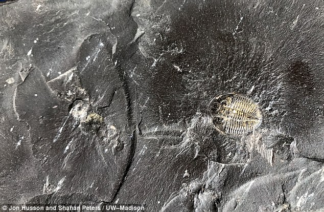 A new study has linked the historic rise in oxygen responsible for the formation of animal life on Earth to fossil fuels. Image:This black shale, formed 450 million years ago, contains fossils of trilobites and other organic material that helped support these increases in oxygen