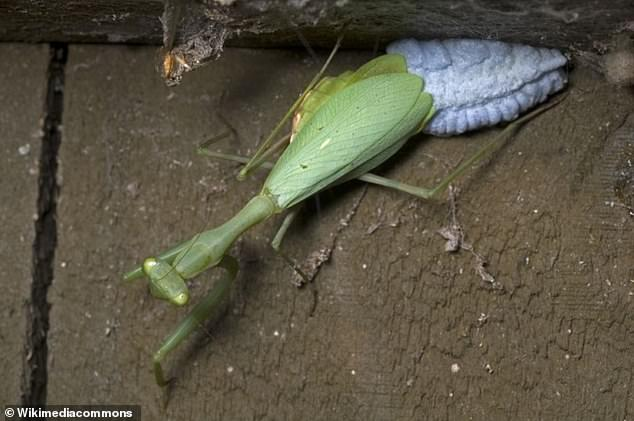 A female Miomantis caffra specimen laying her eggs. The species is a moderately sized mantid with one of the highest known rates of pre-copulatory cannibalism. More than 60 per cent of sexual interactions end in males being consumed, mostly without mating