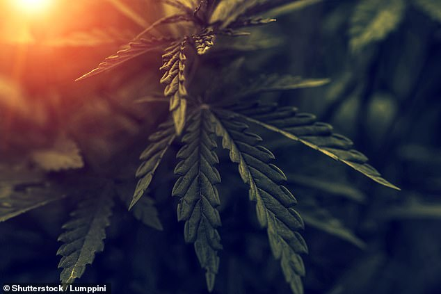 The study used professionally cultivated cannabis plants which were carefully extracted and applied to models and the researchers say their findings do not mean smoking marijuana or using CBD oil offers any protection against Covid-19 (stock)