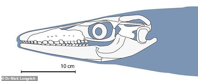 A reconstruction of its skull reveals that its teeth were tightly packed, creating a serrated-like effect