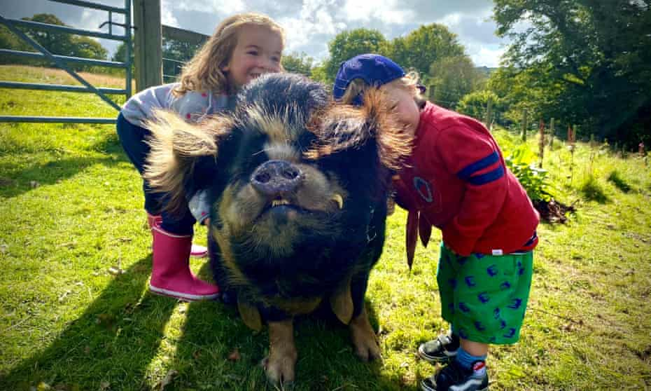 Friendly pigs at Top of the Woods Eco Camping & Glamping Pembrokeshire
