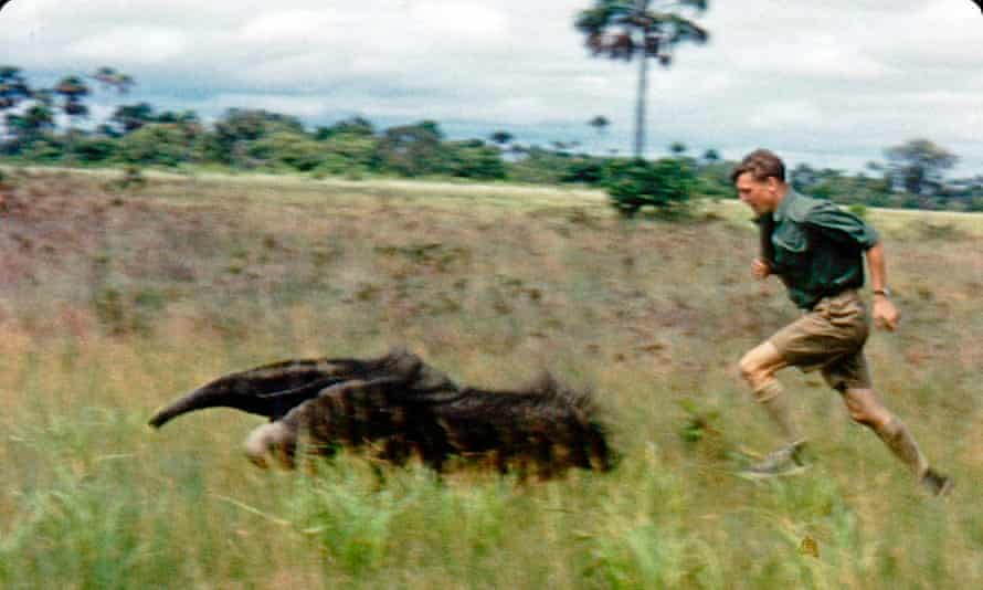 David Attenborough chasing a giant anteater in Guyana in 1955, filming Zoo Quest.