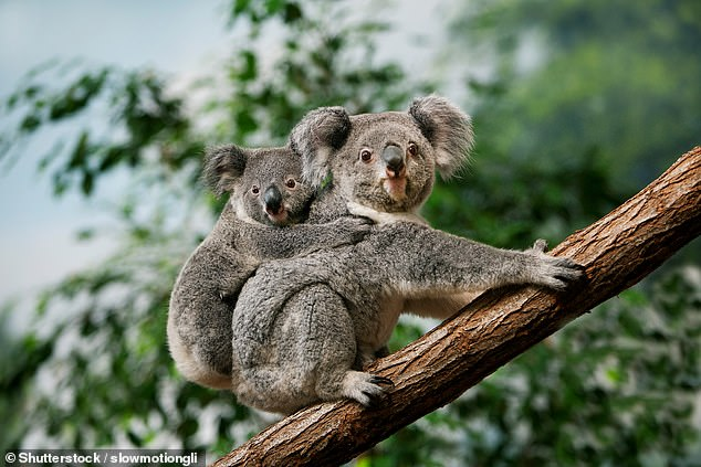 Koalas are native to Australasia, only eat eucalyptus and have a range of health issues, including chlamydia and cancers such as leukaemia and lymphoma. They are also being dramatically impacted by wildfires and habitat loss