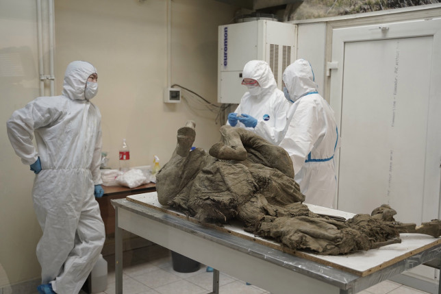 Russian scientists are taking samples from ancient beasts preserved in ice (Credits: Nina Sleptsova / NEFU Press Serv)