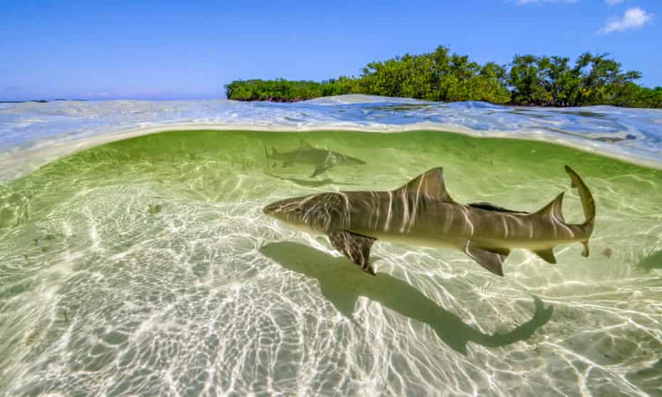 Lemon sharks swim in the shallow waters by the mangrove forests of Bimini, the Bahamas, in A Perfect Planet.