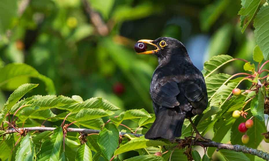 A common Blackbird feeding in a cherry tree.