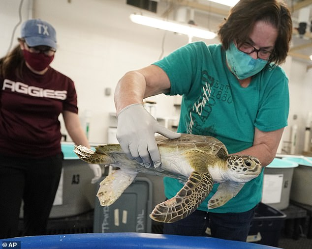 A green sea turtle takes its final swim test before being returned to the ocean