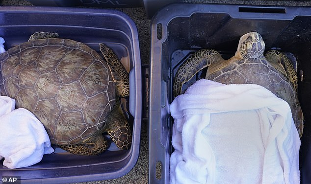 Sea turtles lie in tubs as volunteers work to warm their body temperatures after the winter storm