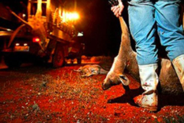 A hunter hauls a dead kangaroo back to base