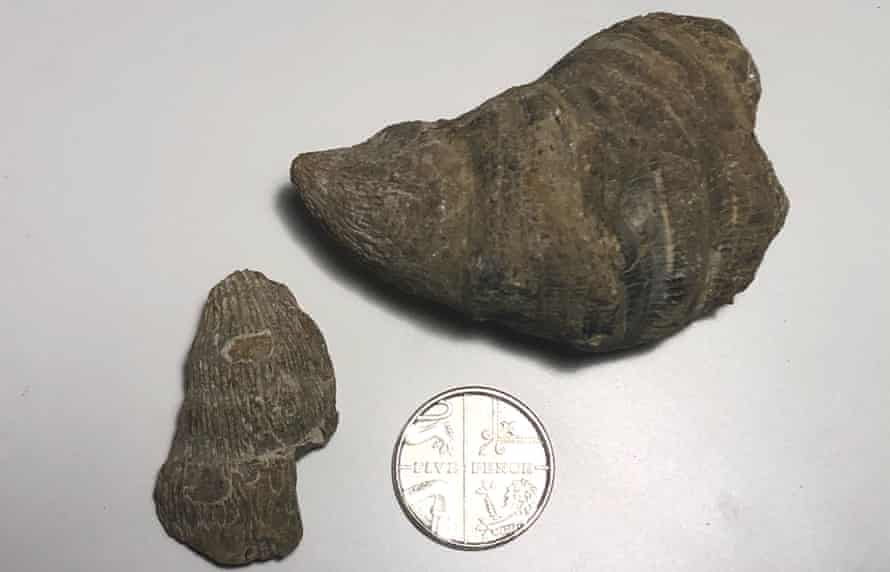 horn coral fossils
