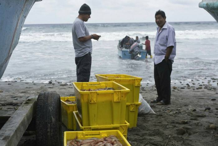 Freshly caught shrimp being packed into containers in Ecuador in 2011