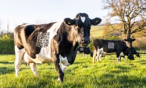"""One of the Yeo Valley cows with its """"Moo-R"""" code."""
