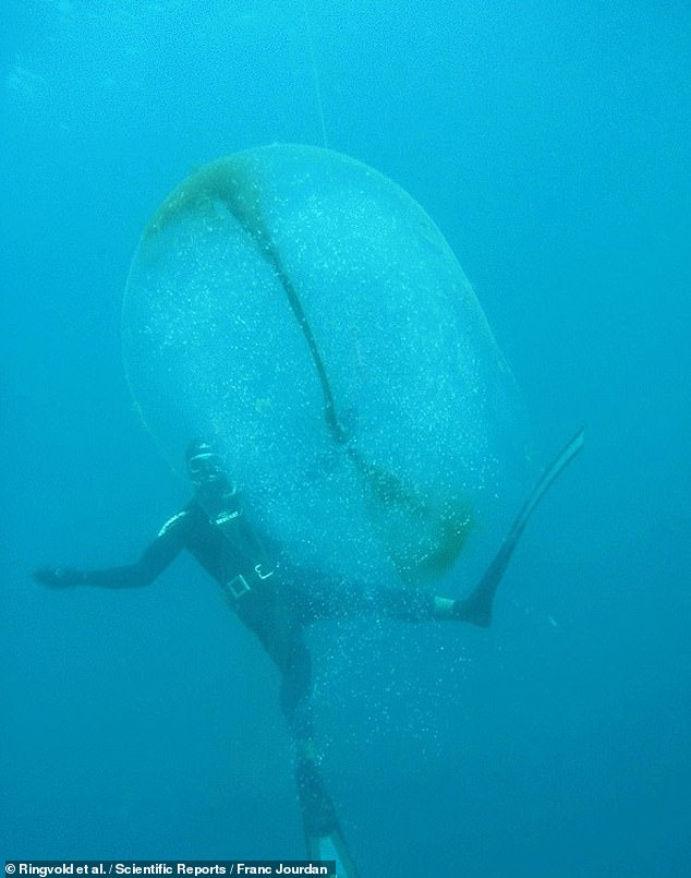 The divers collected the samples in small plastic bottles and kept them in refrigerators until they were able to show them to the team. Pictured: an egg sac in the Mediterranean