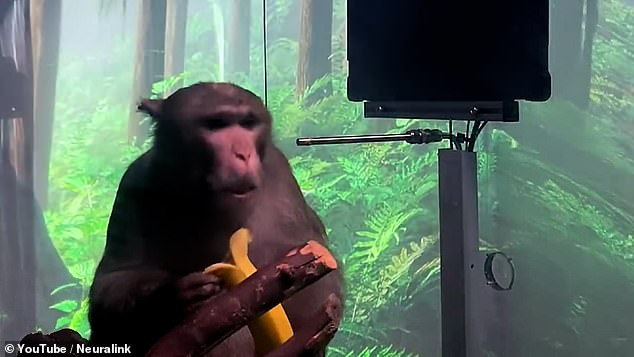 The device in his brain recorded information about the neurons firing while he played the game, learning to predict the movements he would make then rewarding him with a banana