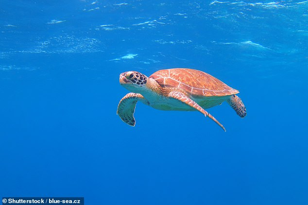 'Understanding how and why species like the North Pacific loggerhead move among habitats is crucial to helping them navigate threats,' said paper author and marine ecologist Larry Crowder, also of Stanford University. Pictured: a loggerhead turtle (stock image)