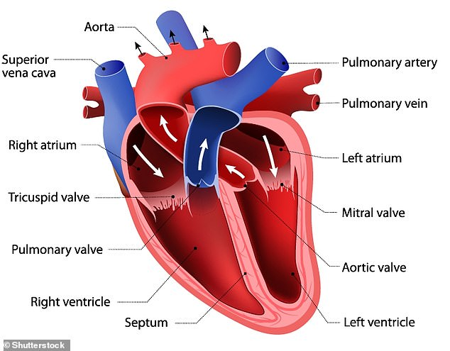 Anatomy of the heart.Both men lost mass in their left ventricle - one of the two large chambers at the bottom of the heart - over the duration of their campaigns, despite substantial amounts of exercise, the researchers found