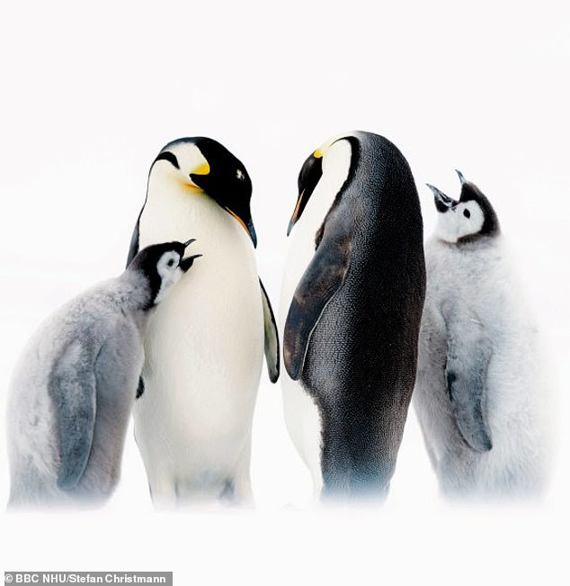 Emperor penguin parents, each with their own five-month-old chick, begging for food, in the episode ofDynasties entitled 'Emperor'
