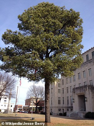 A photograph of the loblolly pine Moon Tree in front of the Sebastian County, Arkansas, courthouse